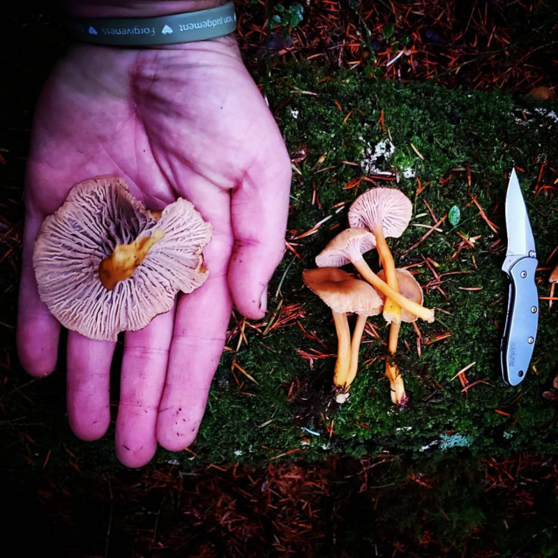 Yellowfoot chanterelles. Photo by Randall Bonner.