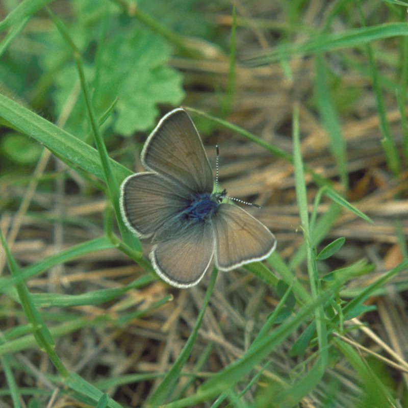 Female Fenders Blue Butterfly (Icaricia icarioides fenderi) near Fern Ridge Reservoir, Oregon, USA