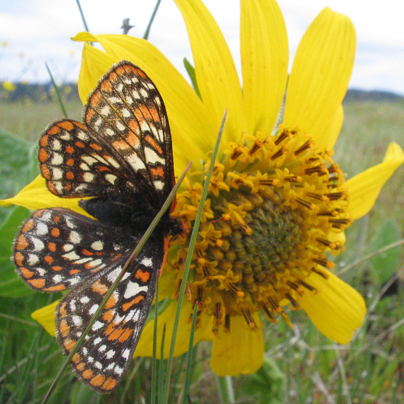 Taylors checkerspot (Euphydryas editha taylori) - A checkered orange, black and white butterfly rests on a bright yellow flower.