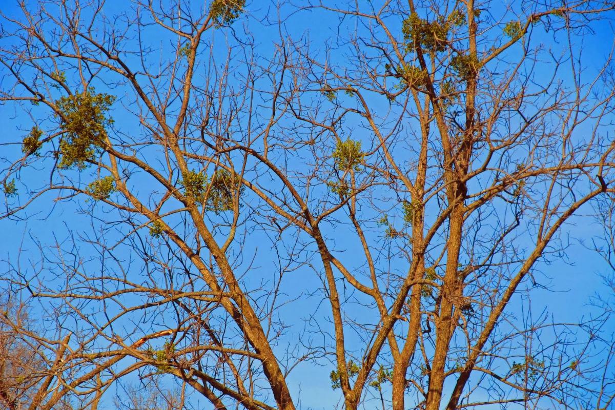 Mistletoe clusters in a hardwood tree, by Randall Bonner