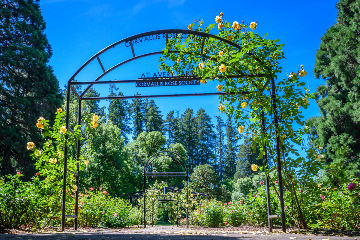 Corvallis Rose Garden at Avery Park - Yellow, peach, and pink roses climb over an iron trellis at the Corvallis Rose Garden