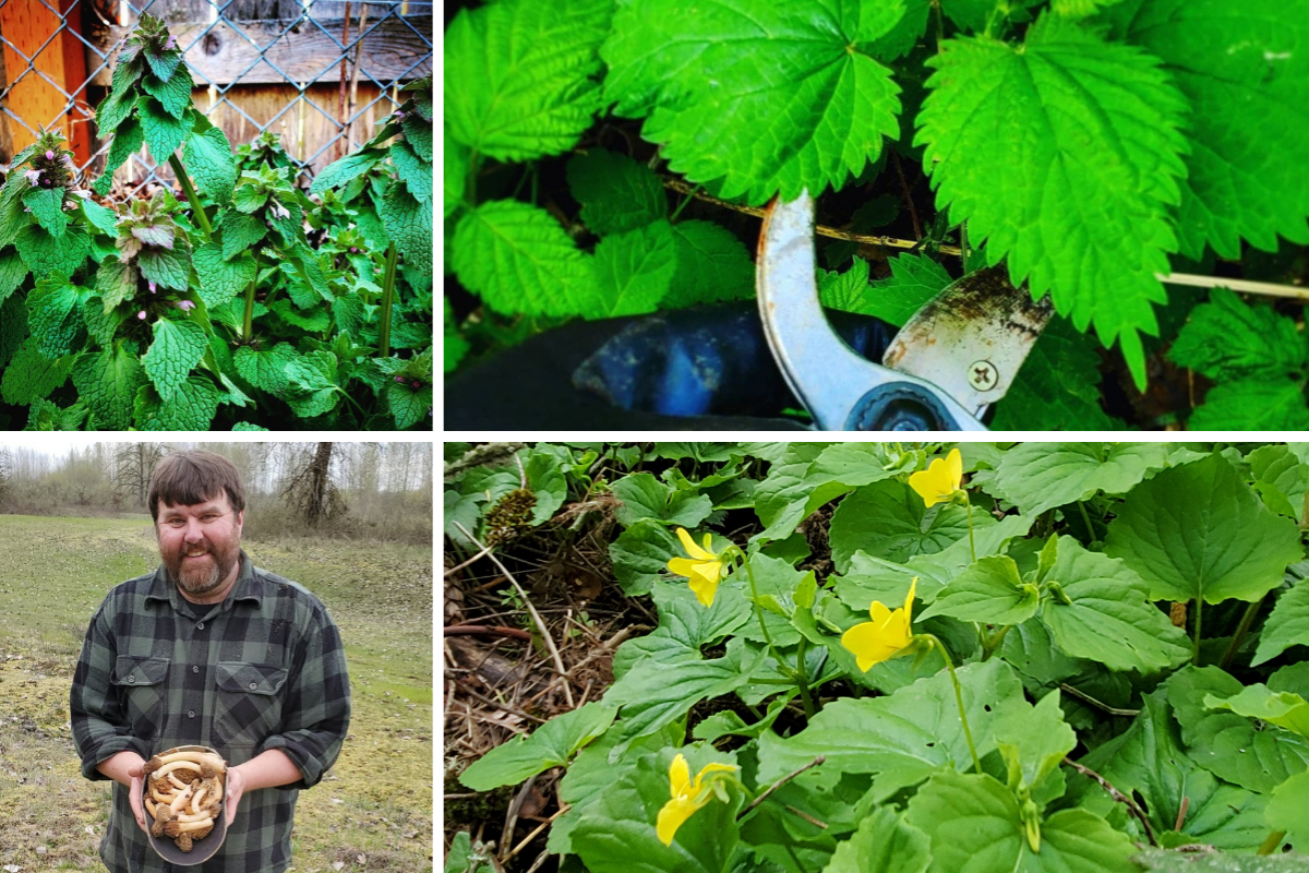 A collage of four foraging photos by Randall Bonner. Top left, dead nettle; top right: stinging nettles at Irish Bend County Park; bottom right, Randall Bonner with Verpas Bohemica from along the Will