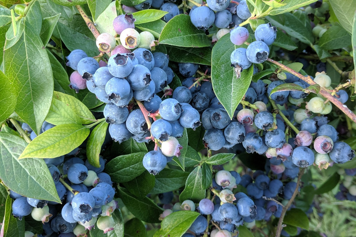 Bryant Family Farm, Albany, Oregon - Closeup on a blueberry bush full of blueberries - Image via Facebook
