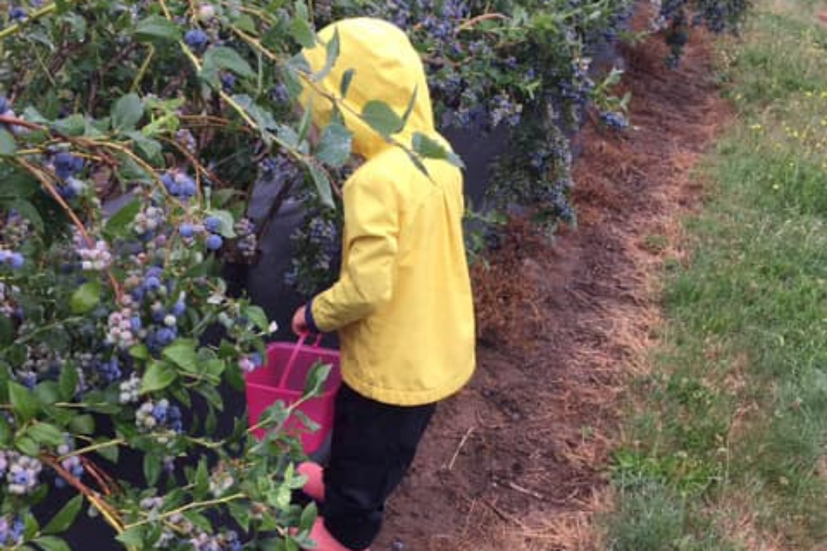 Kiger Island Blues, Corvallis, Oregon - A child in a yellow raincoat picking blueberries - Image via Facebook