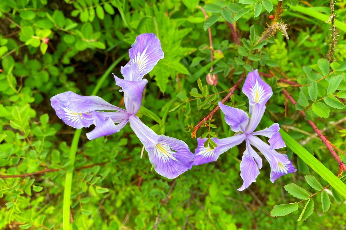 Wildflowers found along the Corvallis to the Sea Trail, by Matthew Wastradowski