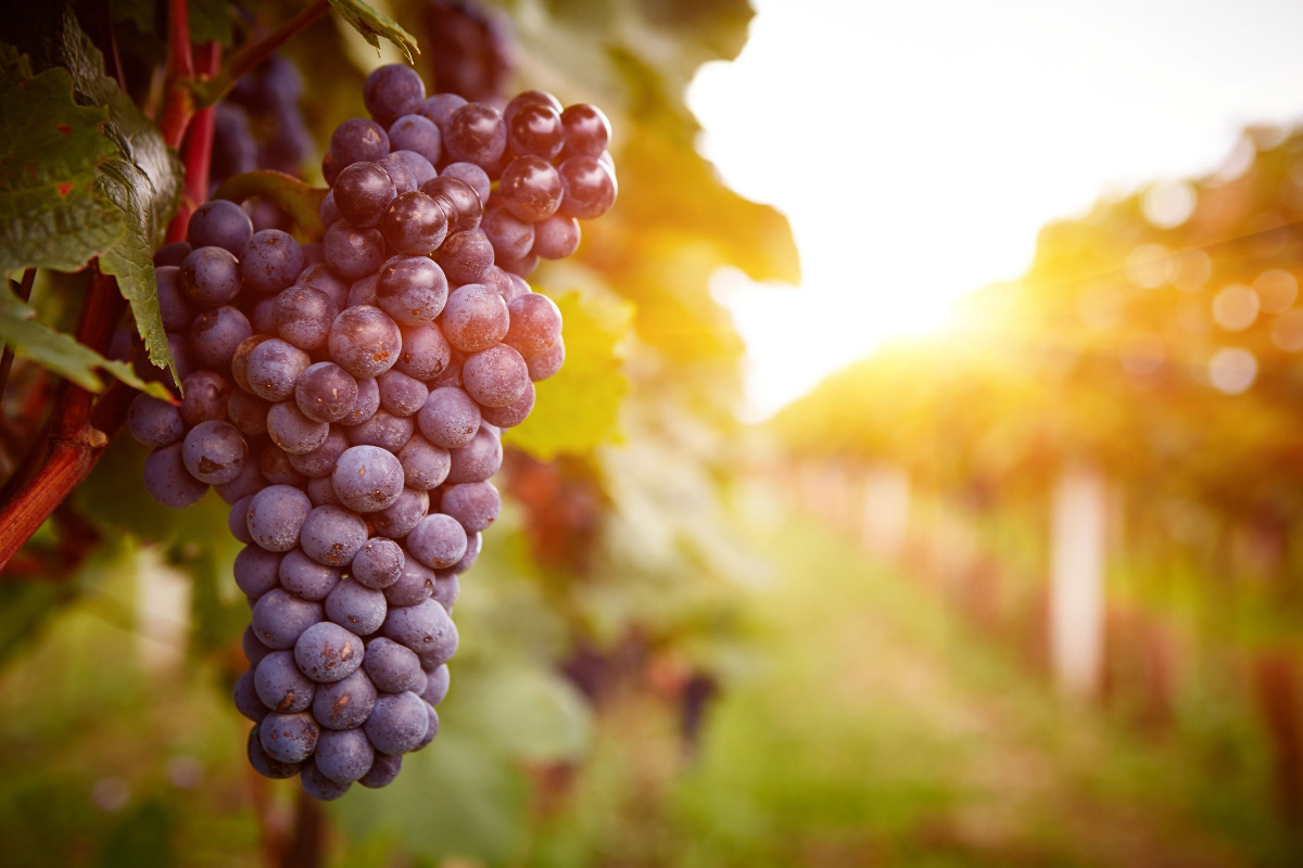 3 Heart of Willamette Wine Passport Sip Trips - Closeup on wine grapes on the vine in a vineyard at sunset, by Rostislav Sedlacek, via Shutterstock