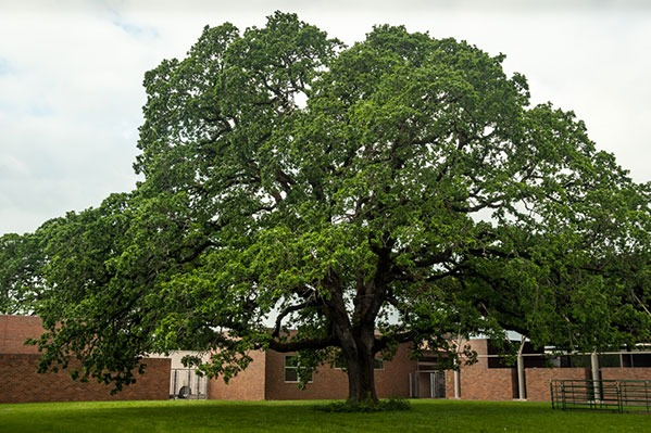 OSU Oregon White Oak at Magruder Hall in Corvallis, Oregon