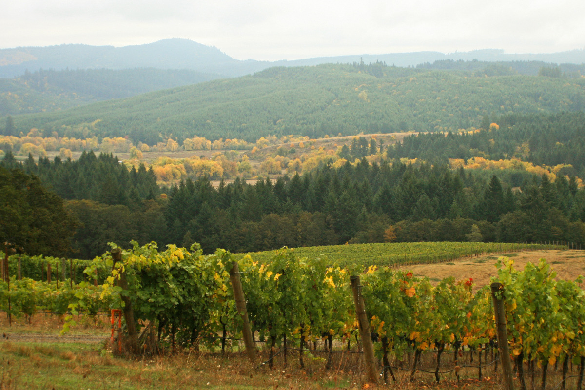 Misty fall vineyards around Corvallis, Oregon, by Lainey Morse